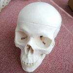 骨格模型のぐれこさんの頭蓋骨