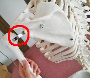 骨格模型の肩甲上腕関節