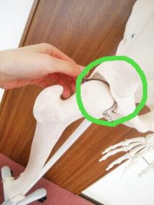 骨格模型の股関節を丸で示した画像