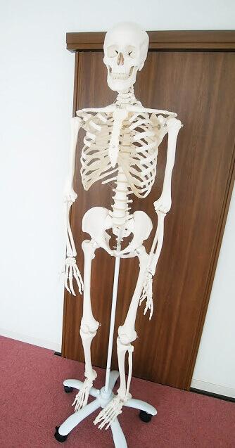組み立てられた骨格模型のぐれこさん