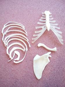 胸骨、肋骨、肩甲帯の骨模型