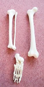 足を構成する骨模型