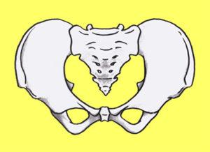 骨盤イラスト2