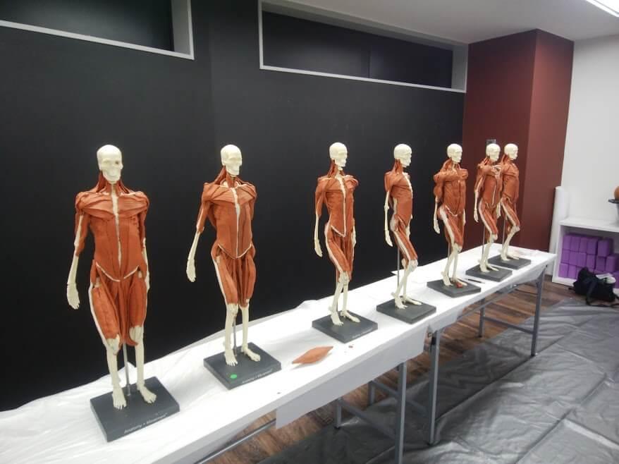 粘土の筋肉を貼り付けた骨格模型が並んでいるところ