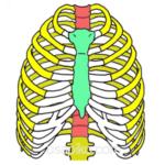 胸郭の骨格イラスト