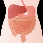 胃、肝臓、小腸、大腸のイラスト
