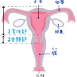 子宮、卵巣、卵管、膣のイラスト