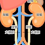 腎臓と膀胱のイラスト