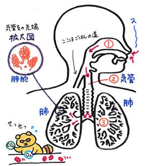 肺の仕組みのイラスト